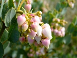 Manzanita flowerets