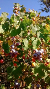 Chaparral Currant, an edible berry