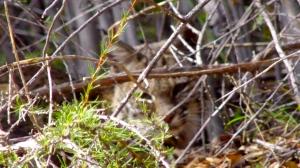 A bobcat keeps watch